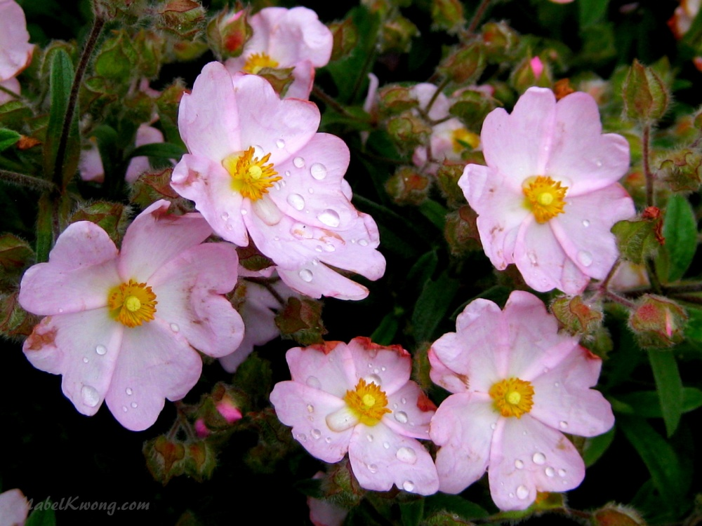 Pink but thirsty flowers in Melbourne's spring | Weekly Photo Challenge: Spring.