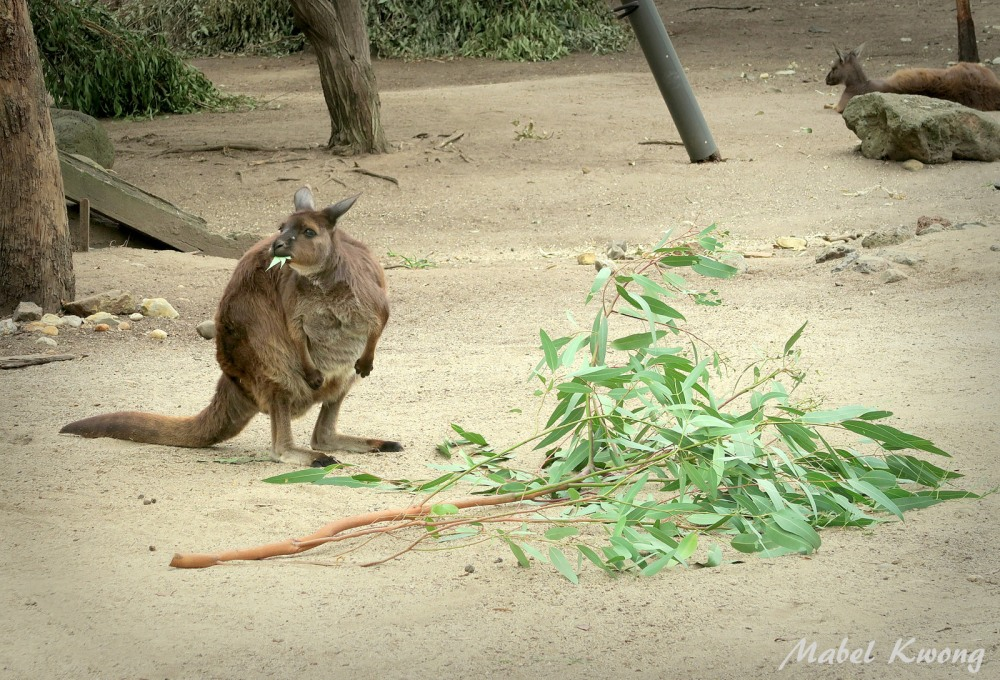 Hungry wallaby. They look like kangaroos.