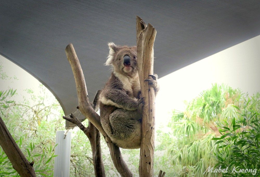 Many Australians see the koala as our unofficial animal | Weekly Photo Challenge: Optimism.